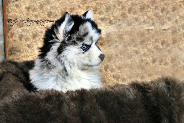 Adopt A Pomsky Puppy